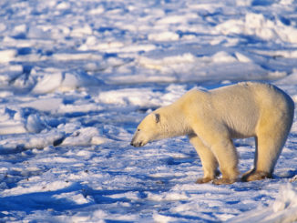 Polar Bear Watching Ice