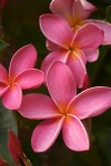 Pink Plumeria Flowers on the tree in Kauai, Hawaii