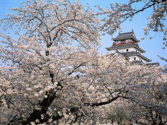 Cherry Blossoms near Tsuruga Castle